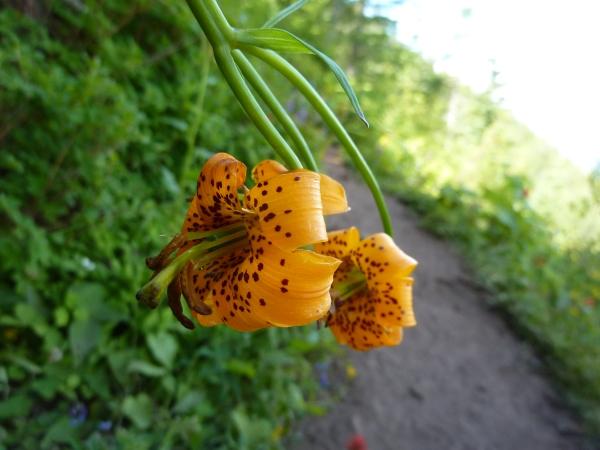 Unknown wildflower glows startling orange leopard print
