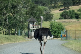 What? Ostrich Butt. Wildlife Safari, Winston Oregon